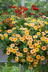 Window box with Petunia Cascadias Indian Summer = 'Dcas303', Calceolaria 'Kentish Hero' and Lysimachia nummularia 'Aurea' AGM