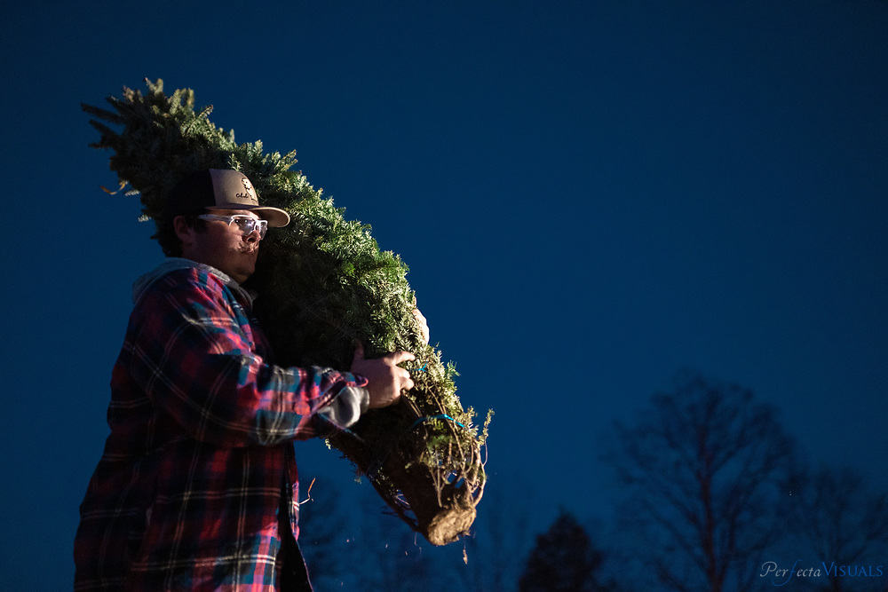 """Employee Eli Davis carries a tree to be bagged for a customer.<br /> <br /> Hickory Creek Farm is located on Burnetts Chapel Rd. in Greensboro, NC. The Christmas tree farm's philosophy is, """"We are a NC Century Farm dedicated to providing you with a beautiful Christmas Tree and a memorable family experience."""" Kevin Gray, a captain with the city of Greensboro Fired Department, helped convert his father's decades of focus on growing tobacco, vegetables and livestock to growing Christmas trees about 6 years ago. Gray says the farm was originally started by his great grandfather in 1913. Gray learned the business with another farmer for 12 years before embarking on tree sales five years ago. The sales operation sells a mix of trees grown by him and other North Carolina farmers at his retail location at his barn. <br /> <br /> Was tobacco, vegetables and livestock for majority of that time until we started with the tree planting about 6 years ago.<br /> <br /> The farm was actually originally started by my great grandfather in 1913<br /> <br /> This is our fifth season here at the farm.  I have worked for another farmer with trees for 12 years before that<br /> <br /> <br /> <br /> Photographed, Saturday, December 7, 2019, in Greensboro, N.C. JERRY WOLFORD / Perfecta Visuals"""
