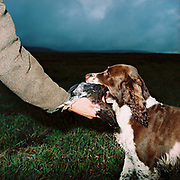 A gamekeeper takes a grouse from the dogs mouth at a grouse shoot in Upper Nidderdale, North Yorkshire, UK