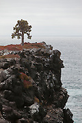 A prickly pear cactus tree (Opuntia echios) on a sea cliff on South Plaza Island, Galapagos Archipelago - Ecuador.