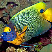Tropical Pacific Angelfish