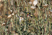 European goldfinch (Carduelis carduelis) perched on a twig. These birds are seed eaters although they eat insects in the summer. Photographed in israel in May