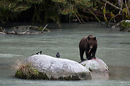 A brown bear eats some scraps from the top of a rock along the outlet of Chilkoot Lake.