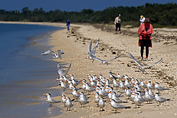 Royal Terns With People