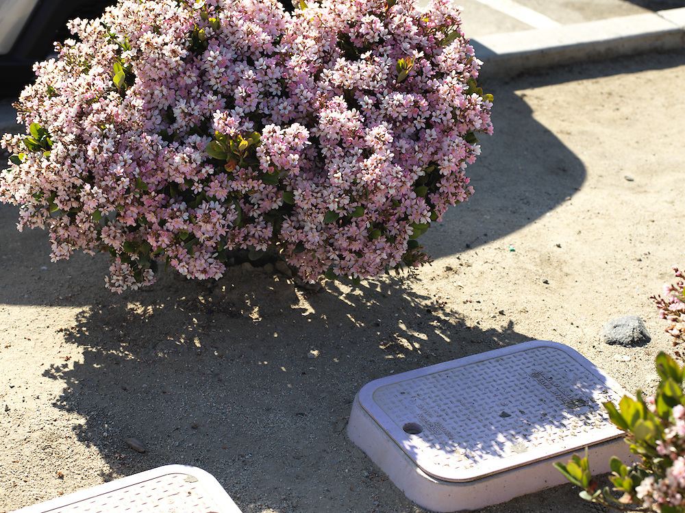 Purple flowers next to a purple sewage cover