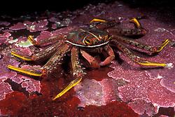 A Flat rock crab, Percnon planissimum, forages among algae encrusted rocks.  Mergui Archipelago, Myanmar, Andaman Sea, Indian Ocean