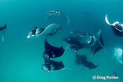 reef manta rays, Manta alfredi (formerly Manta birostris ), feeding on plankton, Hanifaru Bay, Hanifaru Lagoon, Baa Atoll, Maldives ( Indian Ocean )