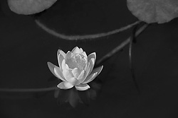 Water Lily, yellow, #11