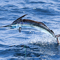 White Marlin showing 'metallic' colours as he charges accross the surface offshore Lobito, Angola.