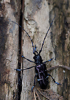 Close up of a Large longhorn beetle, Cerambyx sp. sitting on a tree trunk in the humid montane mixed forest, Laba He National Nature Reserve, Sichuan, China