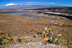 `ohi`a lehua, Metrosideros polymorpha, endemic, Halema`uma`u Crater, and Mauna Loa volcanic mountain, Kilauea Caldera, Hawaii, USA Volcanoes National Park, Big Island, Hawaii, USA