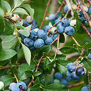 Highbush blueberries on a pick your own farm in Massachusetts.