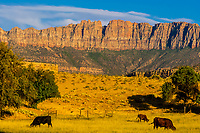 Cattle grazing near the ghost town of Grafton (settled by Mormon in 1847, the people of the town were killed in January 1866 by Navajo Indians near Colorado City, AZ). The ghost town, near Rockville, Utah, USA, is a National Register Historic Site.