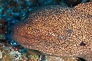 Pühi-paka, Yellow Margin Moray Eel, Gymnothorax flavimarginatus, (Rüppell, 1830), Maui, Hawaii