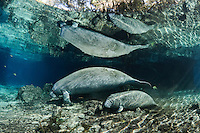 Florida manatee, Trichechus manatus latirostris, a subspecies of the West Indian manatee, endangered. A mother and calf travel from one spring to another and the calf appears curious. Fish, bream, Lepomis spp are present. Blue water, beautiful light rays and reflections highlight this tranquil, undistrubed scene. Horizontal orientation with blue water and rainbow sun rays. Three Sisters Springs, Crystal River National Wildlife Refuge, Kings Bay, Crystal River, Citrus County, Florida USA.