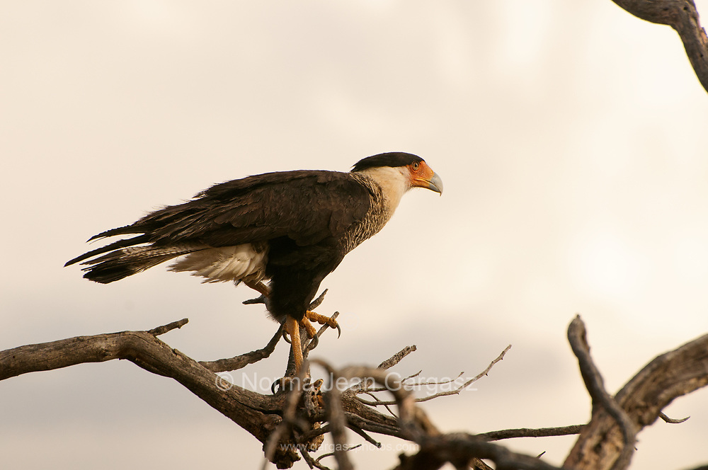Crested Caracara, Sonoran Desert, Tohono O'odham Reservation, Sells, Arizona, USA.