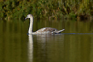 Mute Swan Cygnus olor - juvenile. L 150-160cm. Large, distinctive water bird and a familiar sight. Swimming birds hold long neck in an elegant curve. Family groups are a feature of lowland lakes in spring. Typically tolerant of people. In flight, shallow, powerful wingbeats produce and characteristic, throbbing whine. Sexes are similar but bill's basal knob is largest in males. Adult has white plumage although crown may have orange-buff suffusion. Bill is orange-red with black base. Juvenile has grubby grey-brown plumage and dull pinkish grey bill. Voice Mostly silent. Status Our commonest swan; the only resident species. Found on freshwater habitats besides which it nests; in winter, also on sheltered coasts.
