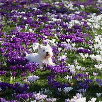 Westie & Crocus Flowers