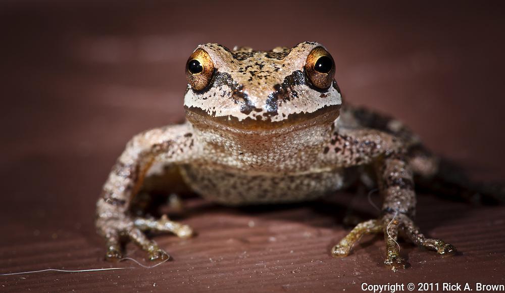 USA, Oregon, Keizer, Pacific Tree Frog (Pseudacris regilla)