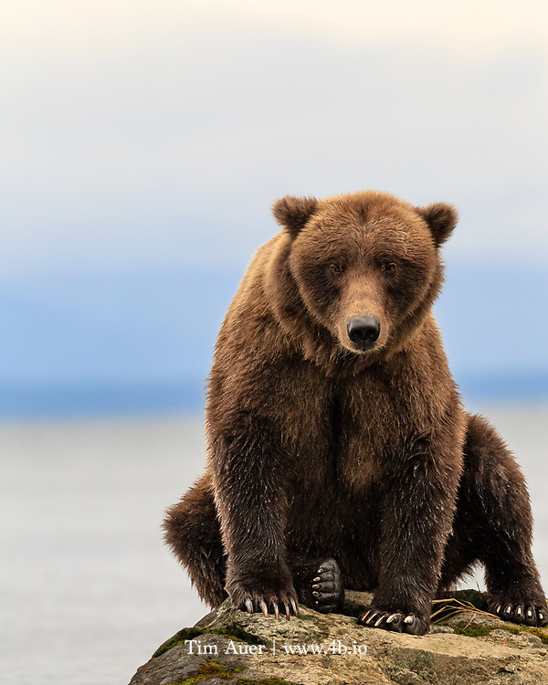 Our home, the community of Mountain View and surrounding areas, was teeming with grizzly bears in former times.