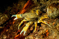 common litoral crab, Carcinus maenas, Rostock, Warnemuende, Germany, Baltic Sea