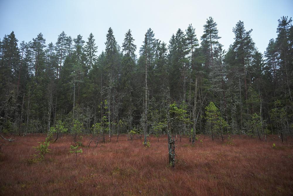 Boreal forest and a little peat bog on a cloudy autumn day, near Līgatne river, Latvia Ⓒ Davis Ulands | davisulands.com