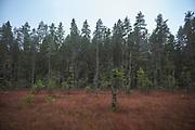 Boreal forest and a little peat bog on a cloudy autumn day, near Līgatne river, Latvia Ⓒ Davis Ulands   davisulands.com