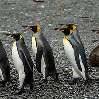King penguins march across a rocky beach at Fortuna Bay, which is part of the Shackleton Hike that leads to Stromness on South Georgia Island.