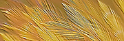 Gold Feather Relief Pano