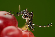 Asian tiger mosquito (Aedes albopictus) (Synonym Stegomyia albopicta) is an vector for the  yellow fever virus, West Nile virus (WNV) , dengue fever and Chikungunya fever. Freiburg, Germany | Asiatische Tigermücke (Aedes albopictus) (Synonym Stegomyia albopicta) übertraäger West-Nil-Virus, Gelbfiebervirus, die Erreger der St.-Louis-Enzephalitis, des Dengue-Fiebers und des Chikungunya-Fiebers. Freiburg, Deutschland
