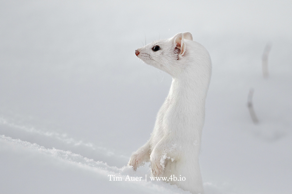 """Take notice of the cloud-diffused sun reflected in its eye. The sharp claws on the snowy forepaws, useful for digging and clinging to prey. The droplets of water on its whiskers. The capillaries in its ear. <br /> <br /> This is not an easy subject to photograph, especially in winter! They are quick, clever animals with near perfect camouflage.  The only weaknesses in its winter appearances are its three black spots: two eyes and the tip of its long tail. If it weren't for those black areas and the weasel's natural curiosity; I never would have managed to get this image. <br /> <br /> I was on my annual photo trip to Yellowstone with my parents. While driving slowly near Tower Junction my mom and dad in the front seat first spotted the weasel, or more accurately, observed its black tip bouncing across the snow-covered road in front of us.  They told me """"Ermine. 6 o'clock. Go!"""" I exited the backseat of the now parked vehicle with silent haste,  and began to scan for the weasel's characteristic tracks in the deep powder snow.  Like the weasel's fur, the scene lacked contrast. White on white on white, with an occasional stray sagebrush poking above the snow.  After scanning the scene for what felt like an eternity, but in reality was seconds, I spotted the tracks and followed them with my eyes to a tiny hole where they ended. The weasel was nowhere to be seen. I prefocused my lens on the hole and assumed the opportunity was lost. As I scanned the area around the hole, I noticed two small eyes in a different hole closer to me, the weasel had reappeared and was looking at me. I trained my lens on the hole and manually focused but couldn't achieve focus. The problem wasn't lack of contrast, I was within the lens' 4.5m minimum focus distance. I leaned back as far as I could and hoped the weasel would give me one more opportunity. As I peered through the viewfinder, the weasel shot up, surveyed its surroundings, did a 180-degree turn, and vanished. <br /> <br /> This entire"""