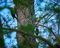 Pair of Pileated Woodpeckers on a tree in Big Cypress Swamp. Image taken with a Nikon Df camera and 400 mm f2.8 lens (ISO 800, 400 mm, f/4, 1/800 sec).