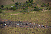 Cattle<br /> Savanna <br /> Rupununi<br /> GUYANA<br /> South America