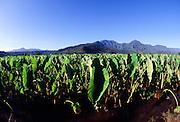 Taro Field, Hanalei Valley, Kauai, Hawaii