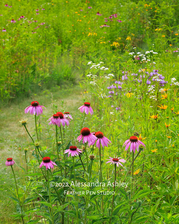 Tall grasses and native wildflowers of central Ohio prairie.