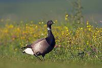 Brent Goose 5078 (Branta bernicla), Texel, the Netherlands