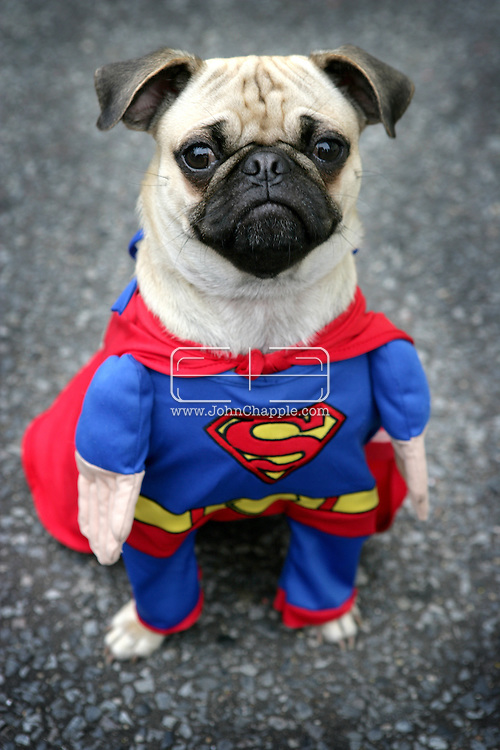 October 2005, New York, NY. The New York City Pug Halloween Costume Contest Party. Pictured is Willis dressed as 'Superman'. ..PHOTO © JOHN CHAPPLE / WWW.JOHNCHAPPLE.COM..THIS COPYRIGHTED IMAGE MUST NOT BE USED WITHOUT PERMISSION
