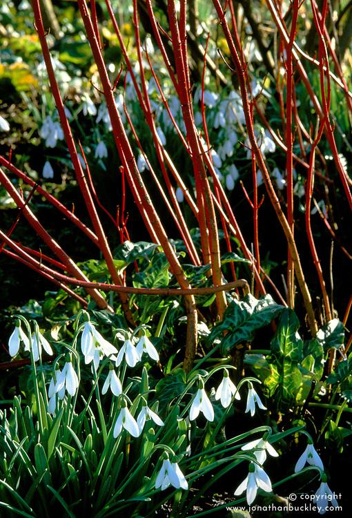 Snowdrops - Galanthus 'Atkinsii' planted around the base of a red stemmed Cornus alba 'Sibirica' at Glen Chantry, Essex
