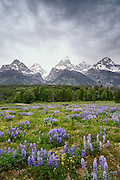 Lupines blooming in a meadow at Grand Teton National Park near Jackson Hole, Wyoming.