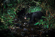 A wild black bear (Ursus americanus) seems surprised to see the camera in a stream in SW Washington. This bear was photographed on the de-commisioned U.S. Army Camp Bonneville. Nearly a century of live fire exercises left parts of the camp riddled with unexploded ordinance. The camp was closed, and the animals moved into the area.