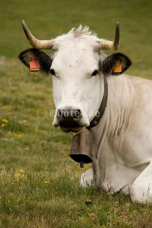 close up of the head of a mountain cow resting
