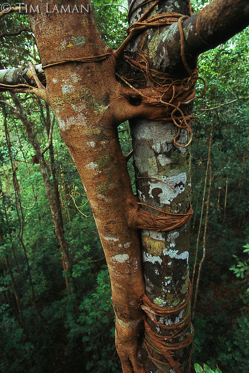 A strangler fig tree with roots wrapped around its host tree in a canopy level view in the rain forest of Borneo.