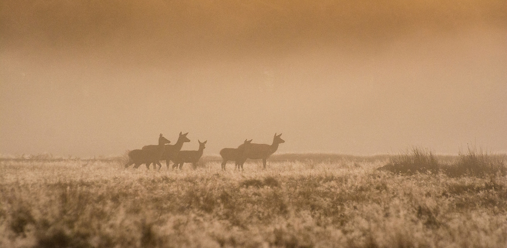 Early morning shot of a family of deer, Bradgate Park, Leicestershire.