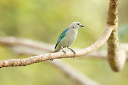 Blue Grey Tanager, Thraupis atripennis, Panama, Central America, Gamboa Reserve, Parque Nacional Soberania, perched on branch with nesting material in beak, male