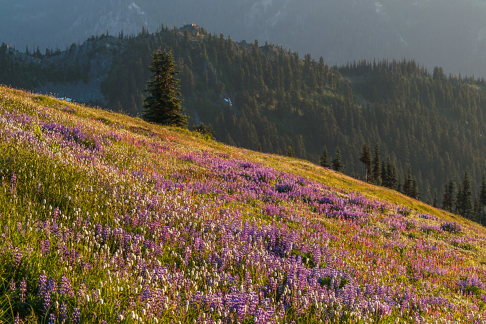 Alpine wildflower meadow, Obstruction Point Road corridor, Elwha River watershed, August, Olympic National Park, Washington. USA