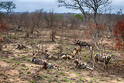 Pack of African wild dog (Lycano pictus) in Kruger NP, South Africa.