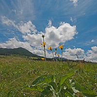 An Arrowleaf Balsamroot (Balsamorhiza sagittata) plant flowers in Montana's Gallatin Valley.  Behind are Mount Ellis and the northern Gallatin Range.