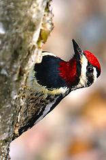 Piciformes (Woodpeckers)
