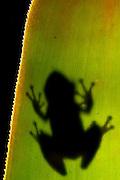 Porto Seguro_BA, Brasil...Na foto detalhe de uma perereca numa RPPN (Reserva Particular do Patrimonio Natural em Porto Seguro, Bahia...In this photo detail of frog in RPPN (Private Reserve of Natural Heritage)  in Porto Seguro, Bahia...Foto: JOAO MARCOS ROSA / NITRO.