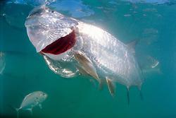 tarpon, feeding Megalops atlanticus, Islamorada, Florida Keys National Marine Sanctuary, Atlantic Ocean